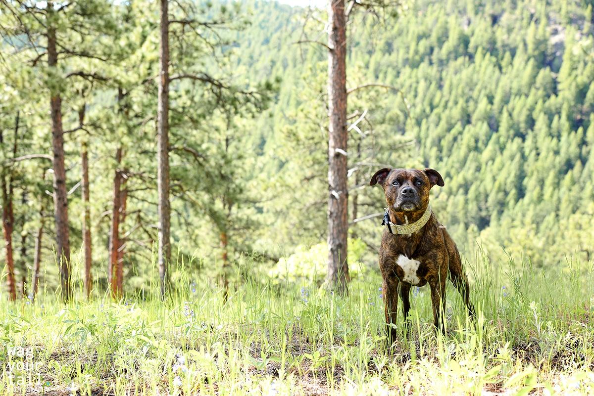 denver-dog-photographer-mojo-1