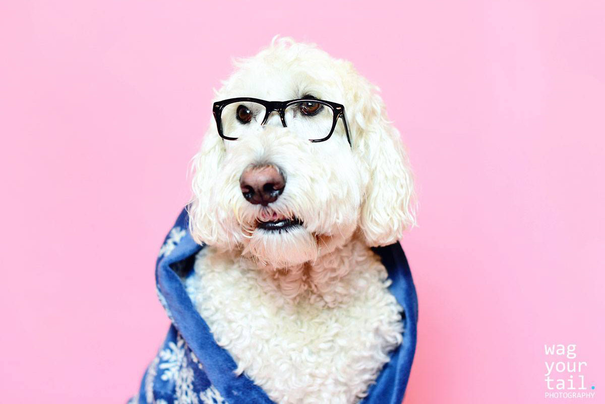 Studio pet photography featuring Goldendoodle pet accessories