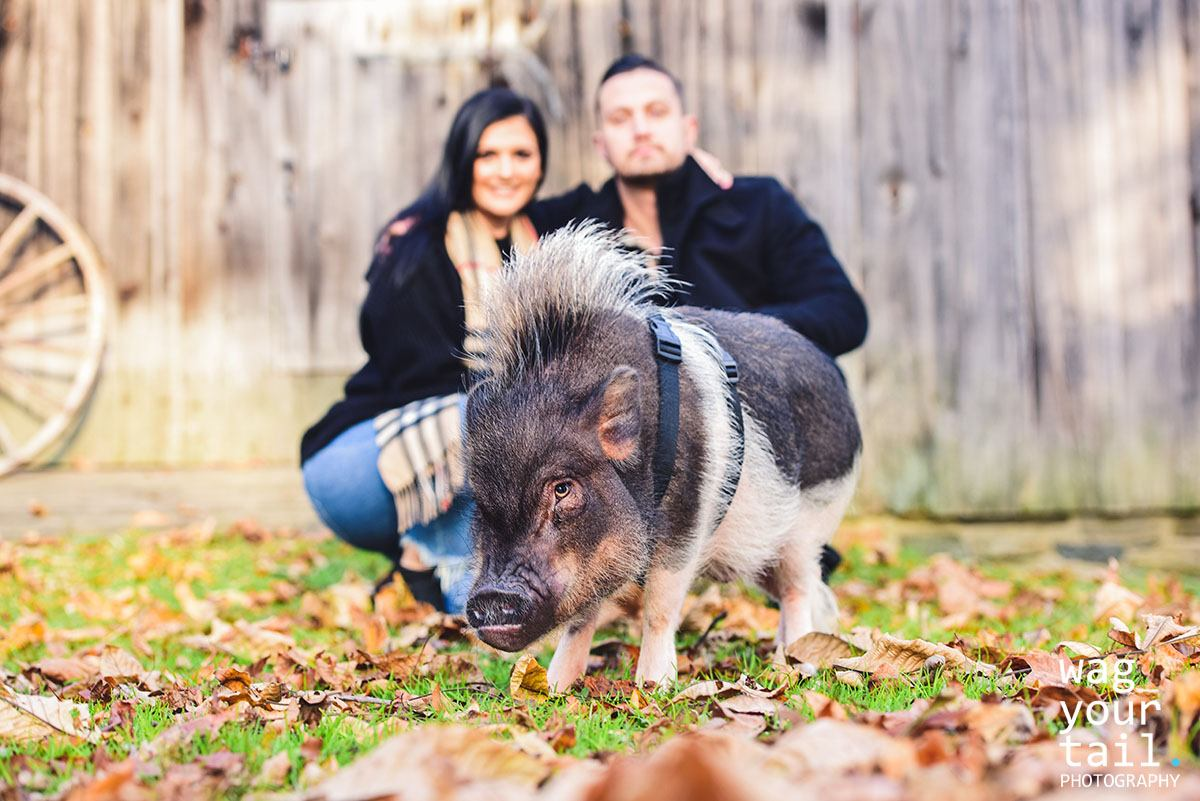 Pet photography featuring mini potbelly pig